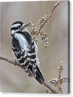 Canvas Print featuring the photograph Bombay Hook Woodpecker by Robert Pilkington