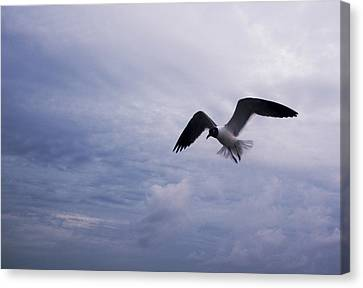 Canvas Print featuring the photograph Bonaparte's Gull In Flight by Kathleen Stephens