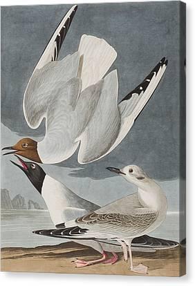 Swoop Canvas Print - Bonapartian Gull by John James Audubon