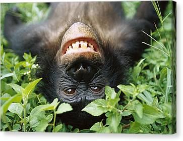 Ape Canvas Print - Bonobo Pan Paniscus Smiling by Cyril Ruoso