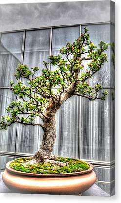 Bonsai Tree II Canvas Print