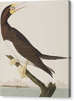 Boobies Canvas Print - Booby Gannet   by John James Audubon