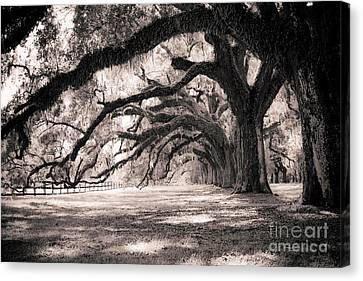 Trees Canvas Print - Boone Hall Plantation Live Oaks by Dustin K Ryan