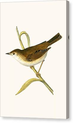 Booted Reed Warbler Canvas Print by English School