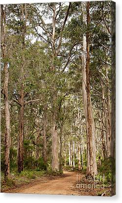 Canvas Print featuring the photograph Boranup Drive Karri Trees by Ivy Ho