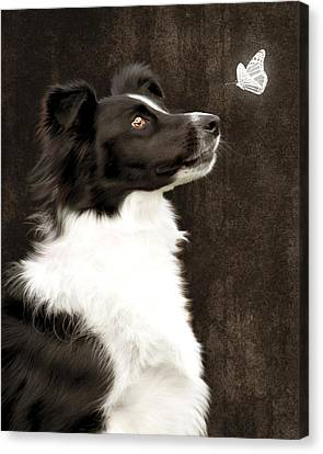 Canvas Print featuring the photograph Border Collie Dog Watching Butterfly by Ethiriel  Photography