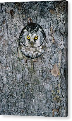 Boreal Owl Aegolius Funereus Peaking Canvas Print by Konrad Wothe