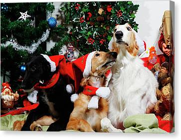 Borzoi Hounds Dressed As Father Christmas Canvas Print