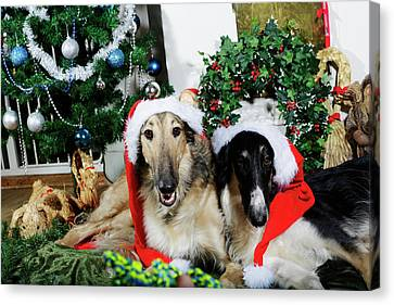 Borzoi Puppies Wishing A Merry Christmas Canvas Print by Christian Lagereek
