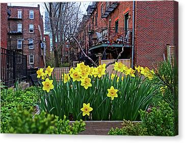 Boston Ma South End Daffodils Canvas Print by Toby McGuire