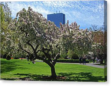 Boston Public Garden Spring Tree Boston Ma Canvas Print by Toby McGuire