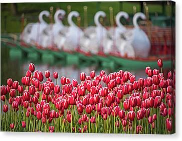 Boston Public Garden Spring Tulips And Swan Boats Canvas Print