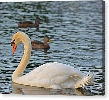 Boston Public Garden Swan Amongst The Ducks Canvas Print by Toby McGuire