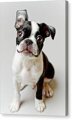 Boston Terrier Dog Puppy Canvas Print by Square Dog Photography