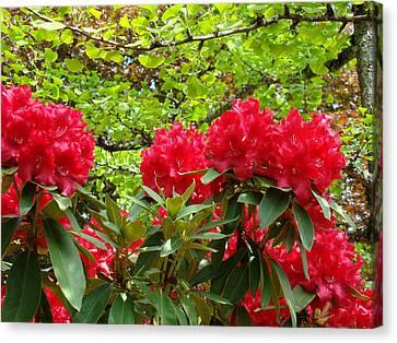 Botanical Garden Art Prints Red Rhodies Trees Baslee Troutman Canvas Print by Baslee Troutman