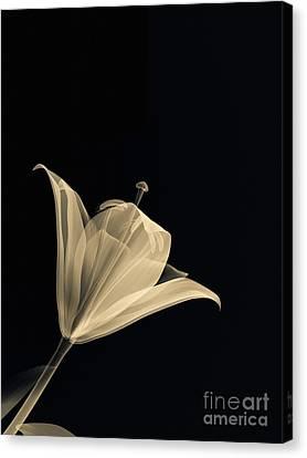 Botanical Study 3 Canvas Print by Brian Drake - Printscapes