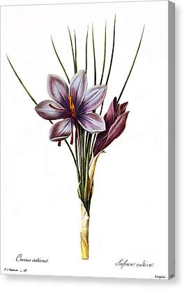 Botany: Saffron Canvas Print by Granger