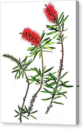 Canvas Print featuring the painting Bottle Brush by Heidi Kriel