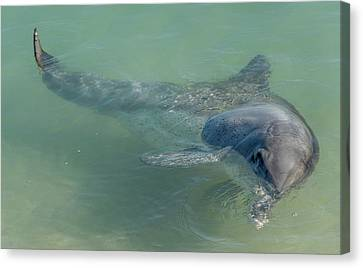 Bottlenose Dolphin Canvas Print by Martin Capek