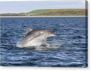 Bottlenose Dolphin - Scotland  #32 Canvas Print