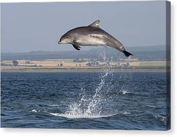 High Jump - Bottlenose Dolphin  - Scotland #42 Canvas Print