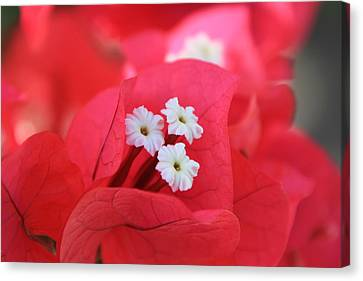 Canvas Print featuring the photograph Bougainvilleas And White by Edward R Wisell