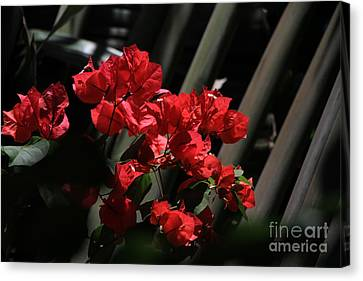 Canvas Print featuring the photograph Bougainvilleas by Edward R Wisell
