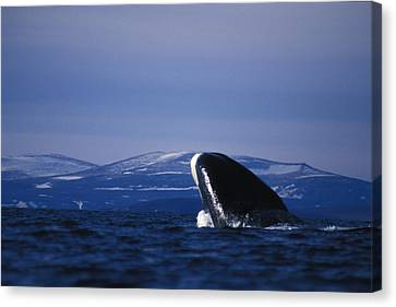 Bowhead Whale Balaena Mysticetus Canvas Print by Nick Norman