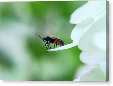 Box Elder Bug About To Depart Canvas Print