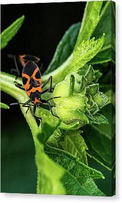 Love Making Canvas Print - Box Elder Bug With Female In Tow by Douglas Barnett