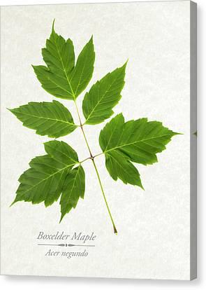 Box Elder Maple Canvas Print