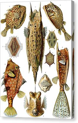 Armor Canvas Print - Box Fishes by German School