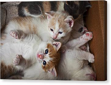 Box Full Of Kittens Canvas Print by Garry Gay