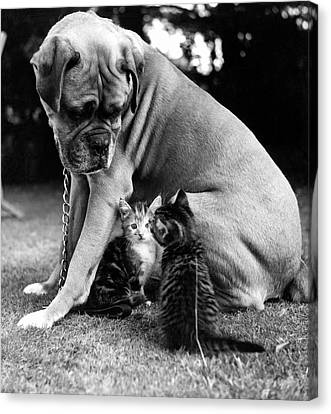 Boxer And Kittens Canvas Print by Ray Moreton