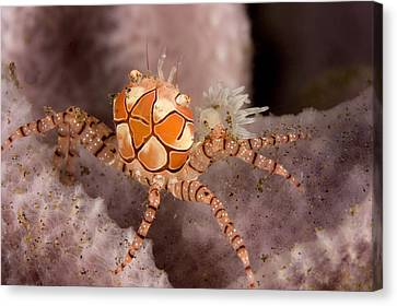 Boxer Crab On Sponge Lybia Tesselata Canvas Print by Tim Laman