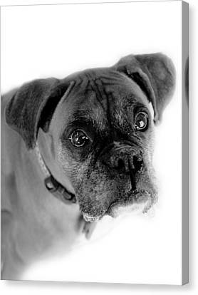 Boxer Dog Canvas Print by Marilyn Hunt
