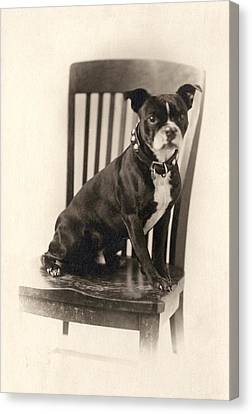 Boxer Canvas Print - Boxer Sitting On A Chair by Unknown