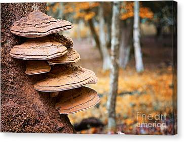 Bracket Fungus On Beech Tree Canvas Print by Jane Rix