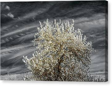 Bradford Pear In Infrared Canvas Print