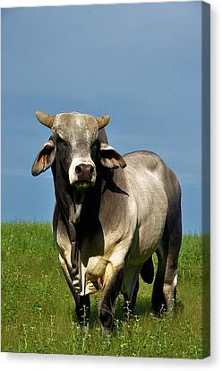 Canvas Print featuring the photograph Brahman Boss by Jan Amiss Photography