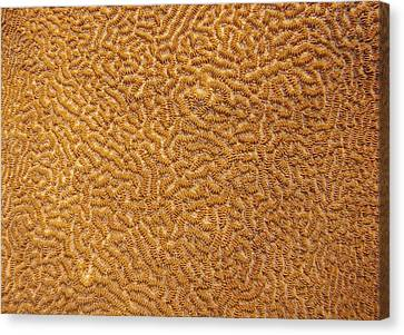 Brain Coral 47 Canvas Print by Michael Fryd