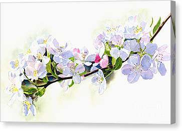Branch Of White Shadowed Apple Blossoms Canvas Print by Sharon Freeman