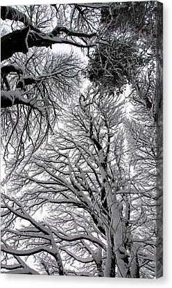 Branches With Snow Canvas Print by Mark Denham