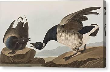 Brant Goose Canvas Print