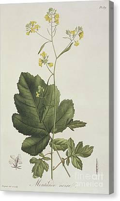 Brassica Nigra Or Black Mustard Canvas Print