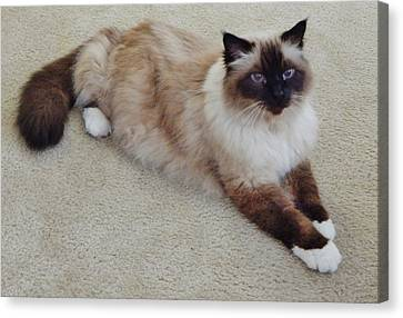 Brassy Our Birman Canvas Print