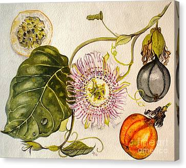 Brazilian Passion Fruit             Passiflora Ligularis Seme Canvas Print by Sandra Phryce-Jones