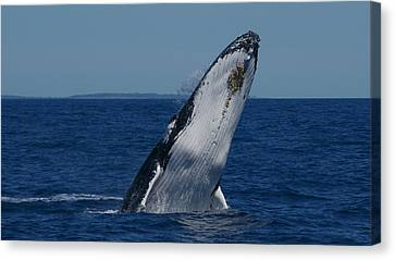 Canvas Print featuring the photograph Breaching Humpback Whale by Gary Crockett