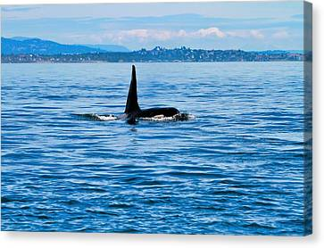 Breaching Male Orca Canvas Print by Dan Sproul