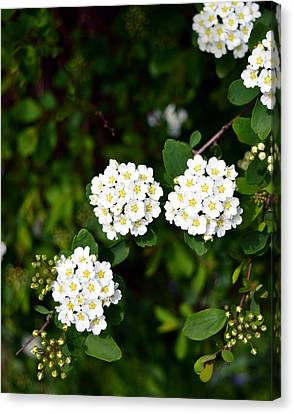 Bridalwreath Canvas Print by Soul Full Sanctuary Photography